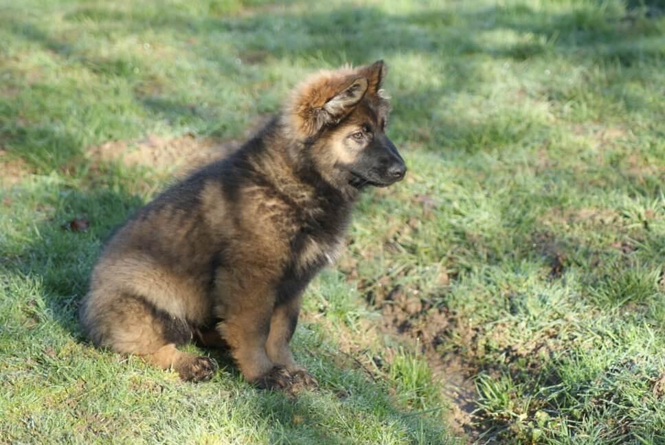 bébé berger allemand