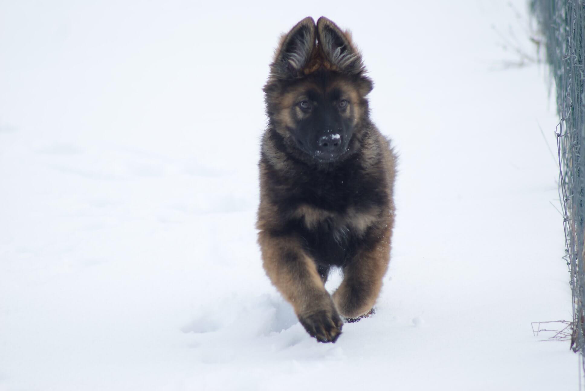 chiot berger allemand neige